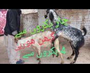 ISMAIL KHAN Goat Saler
