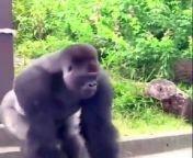 Funnycute Gorilla <br/>